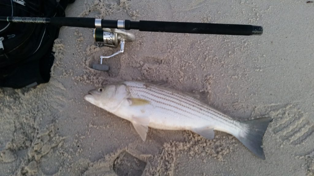Catching my First Striped Bass while surf fishing NJ